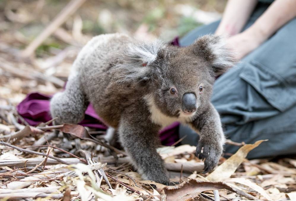 Fence me in: As part of a raft of measures to protect koalas, fences will go up along Picton Road. Picture  Sitthixay Ditthavong